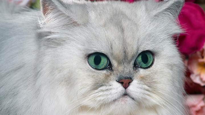 Angry White Cat Face Closeup